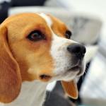 Beagle head wallpaper