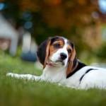 Beagle on grass wallpaper