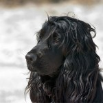Black English Cocker Spaniel head