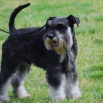 Black and silver Miniature Schnauzer