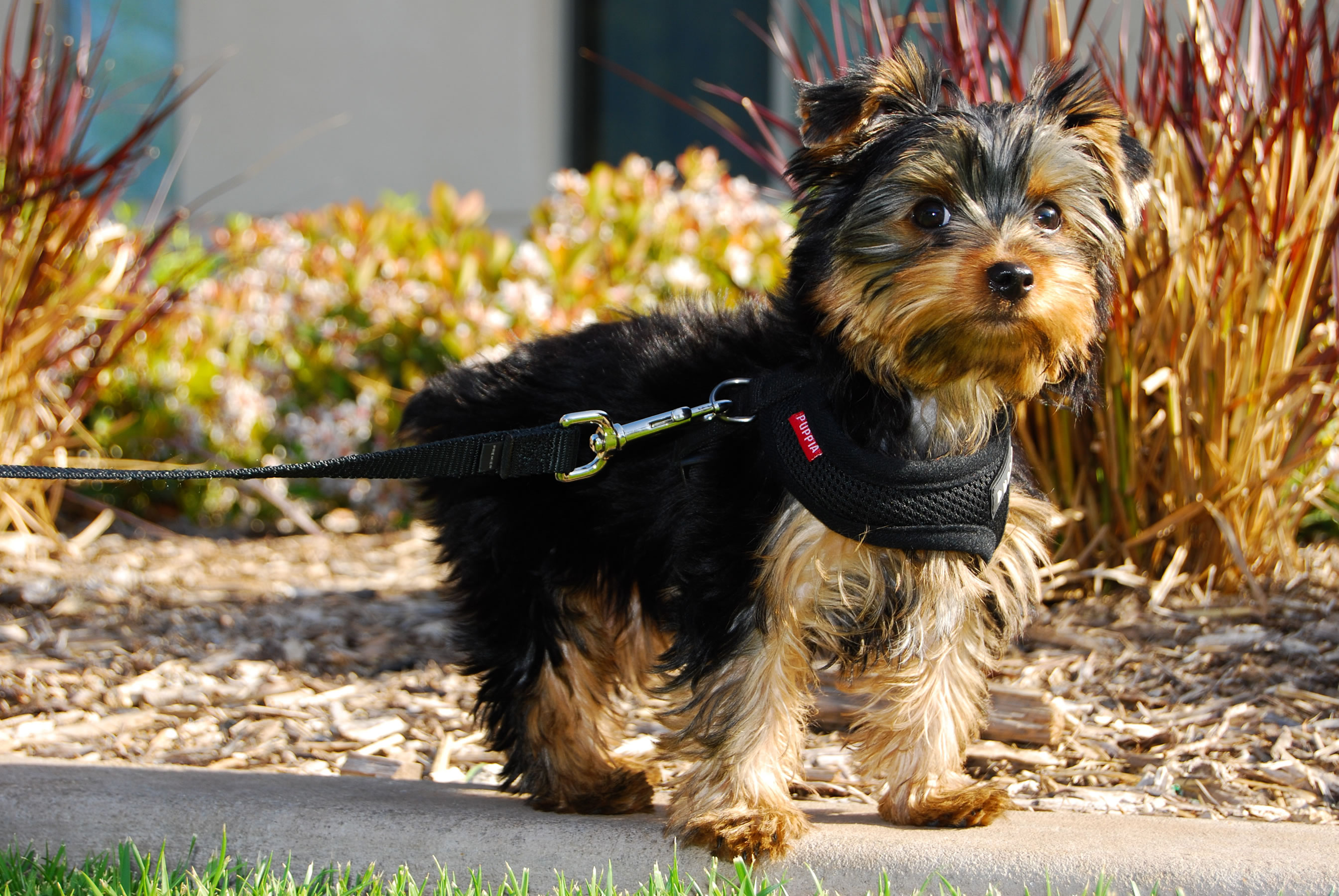 What Does Color Blindness Look Like Yorkshire Terrier My Doggy Rocks