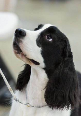 Black and white English Cocker Spaniel