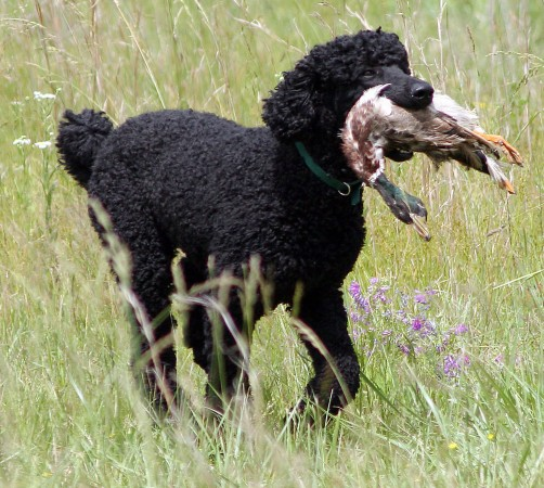 Black poodle hunting