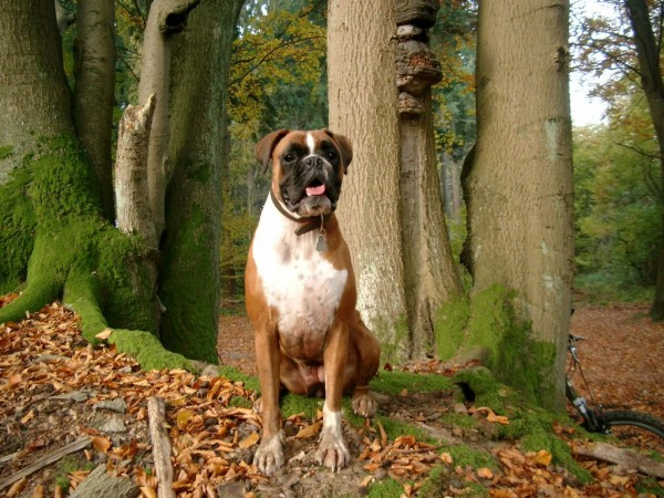Boxer in forest