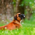Boxer in grass wallpaper