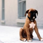 Boxer puppy wallpaper