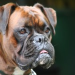 Brindle Boxer head