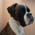 Brindle Boxer head with white neck
