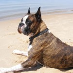 Brindle Boxer on beach