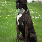 Brindle Boxer with white markings