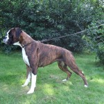 Brindle Boxer with white socks