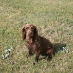 Brown English Cocker Spaniel