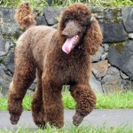 Brown Poodle wallpaper