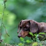 Curious Dachshund