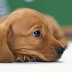 Cute Dachshund wallpaper