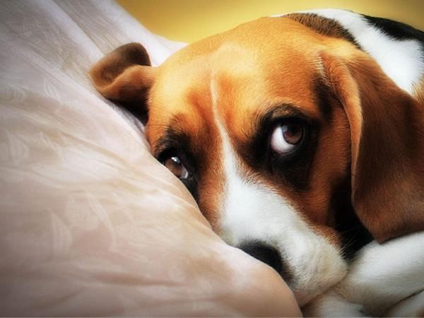 Cute beagle