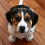 Cute tricolor Beagle wallpaper
