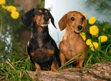 Dachshund dogs wallpaper