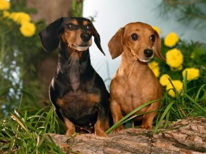 Dachshund dogs wallpaper