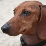 Dachshund head
