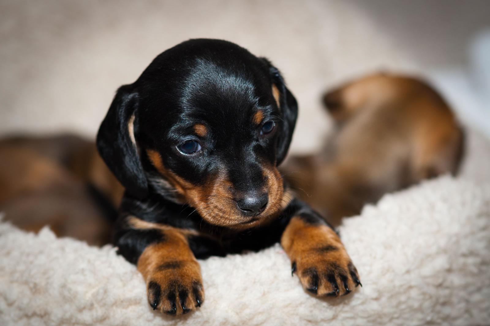 Black And Tan Dachshund Puppy My