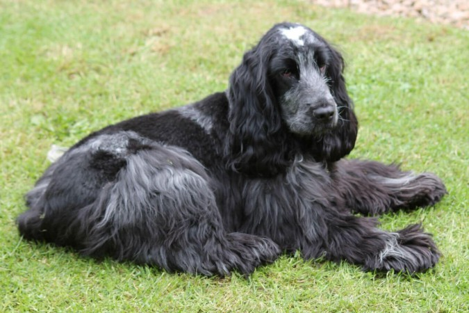 Dark blue roan English Cocker Spaniel