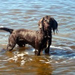 English Cocker Spaniel in water