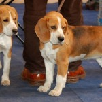 Faded tricolor show beagles