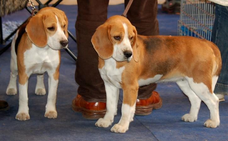 Faded tricolor show beagles