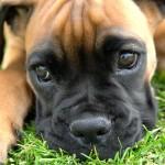 Fawn Boxer puppy wallpaper