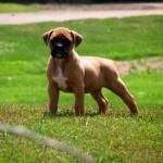 Fawn Boxer puppy wallpaper (2)