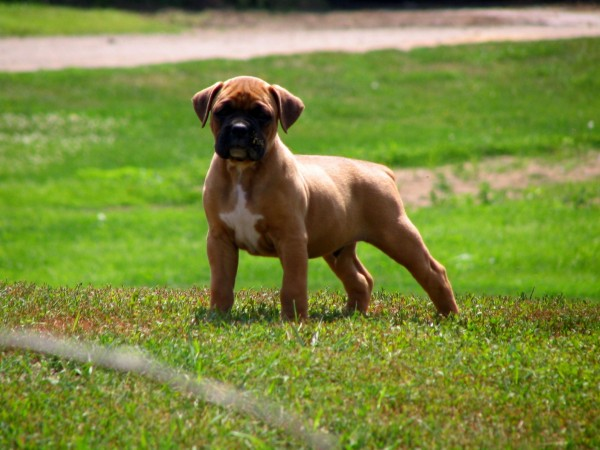 Fawn Boxer puppy wallpaper (2)