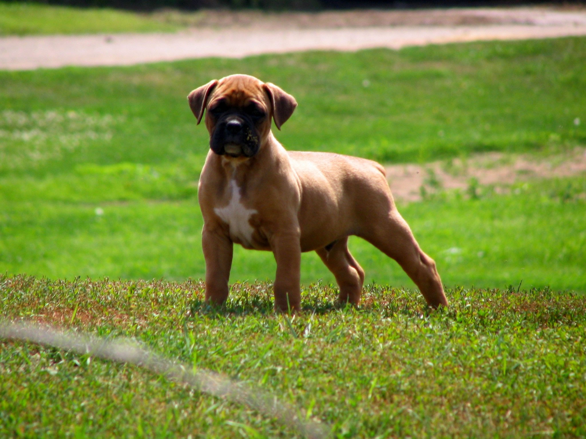 boxer-puppy-wallpaper