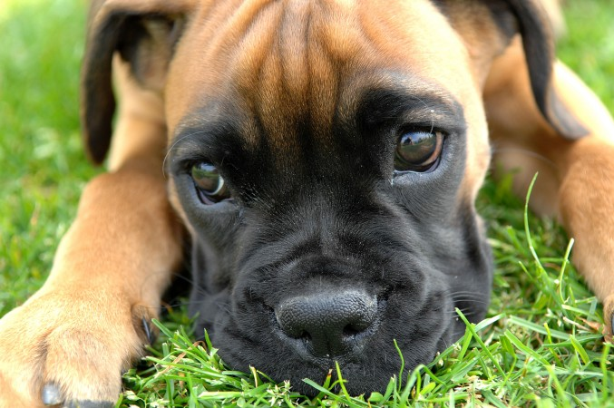 Fawn Boxer puppy wallpaper