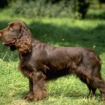 Field English Cocker Spaniel