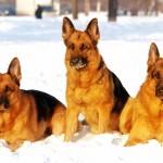 German Shepherd dogs in snow wallpaper