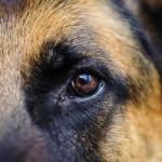 German Shepherd eye