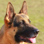 German Shepherd head closeup
