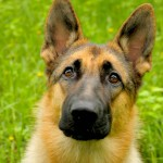 German Shepherd head wallpaper (2)
