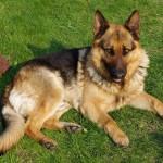 German Shepherd on grass wallpaper