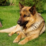 German Shepherd on grass wallpaper (3)