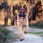 German Shepherd running wallpaper