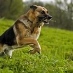 German Shepherd running wallpaper (2)
