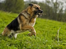German Shepherd running wallpaper (2)