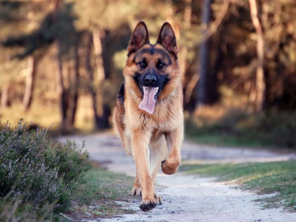 German Shepherd running wallpaper