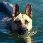 German Shepherd swimming wallpaper