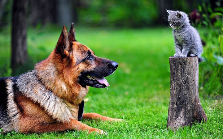 German Shepherd with cat wallpaper