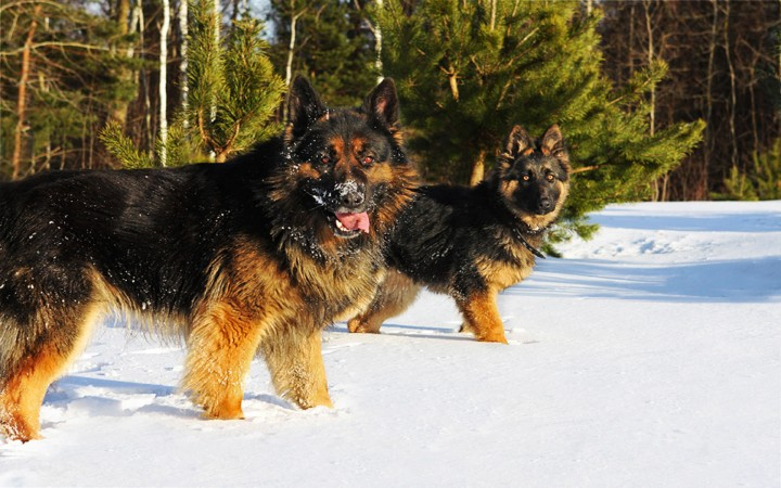 German Shepherds in snow