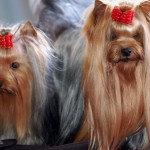 Gold and blue Yorkshire Terriers
