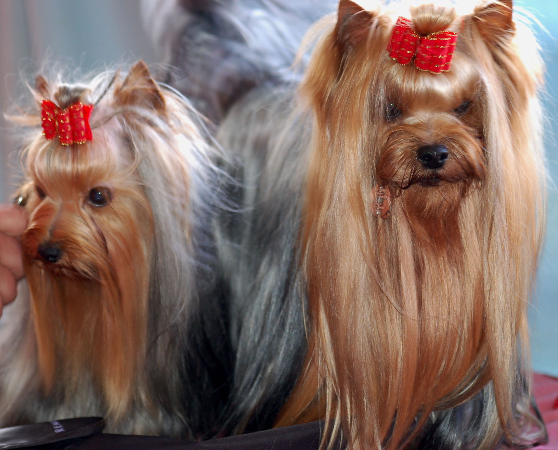 Gold And Blue Yorkshire Terriers My Doggy Rocks